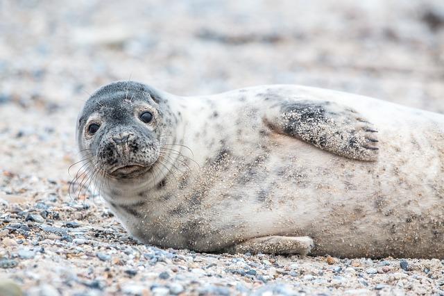 ležící tuleň