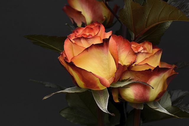 krásné růže.jpg