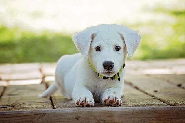 bílý pes.jpg